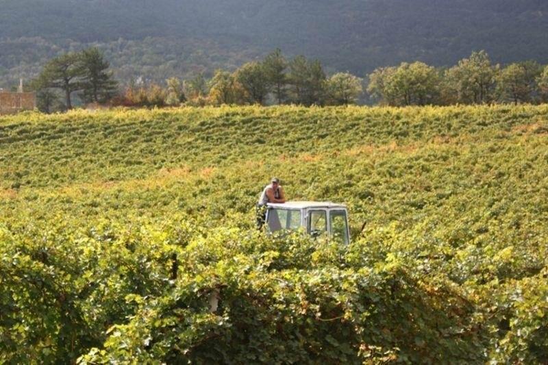 «Массандра» готовится к сбору урожая и набирает 1000 сезонных рабочих на рыбалку в виноградных морях, фото-6