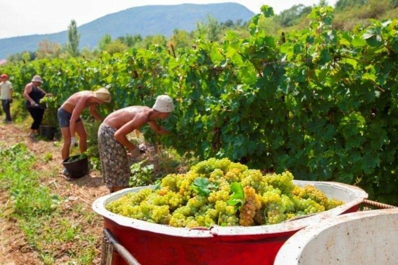 «Массандра» готовится к сбору урожая и набирает 1000 сезонных рабочих на рыбалку в виноградных морях, фото-3