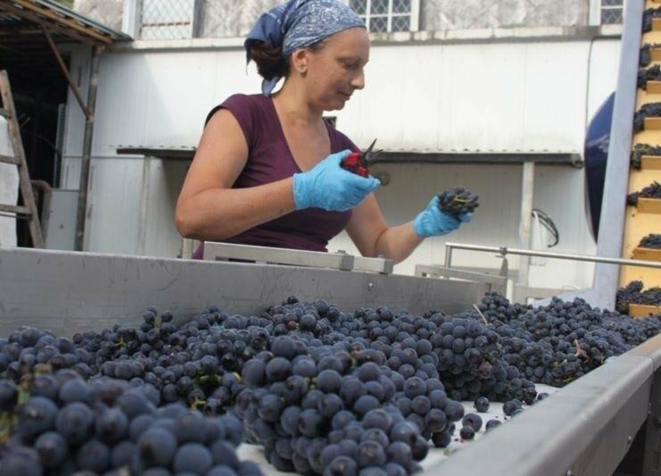 «Массандра» готовится к сбору урожая и набирает 1000 сезонных рабочих на рыбалку в виноградных морях, фото-5