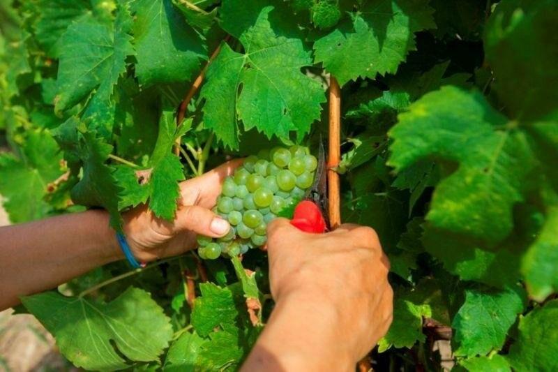 «Массандра» готовится к сбору урожая и набирает 1000 сезонных рабочих на рыбалку в виноградных морях, фото-1