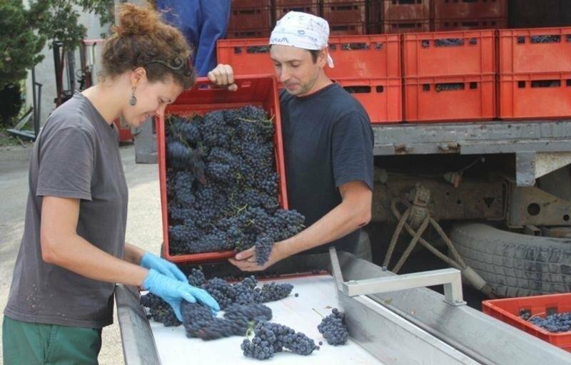 «Массандра» готовится к сбору урожая и набирает 1000 сезонных рабочих на рыбалку в виноградных морях, фото-4