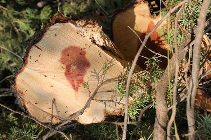 В Гаспре вырубают краснокнижный можжевельник , фото-1