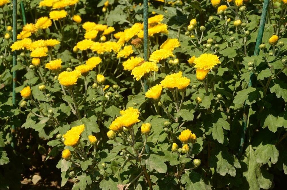 На Бал хризантем в Никитский сад «съедутся»  36 тысяч цветов, фото-1