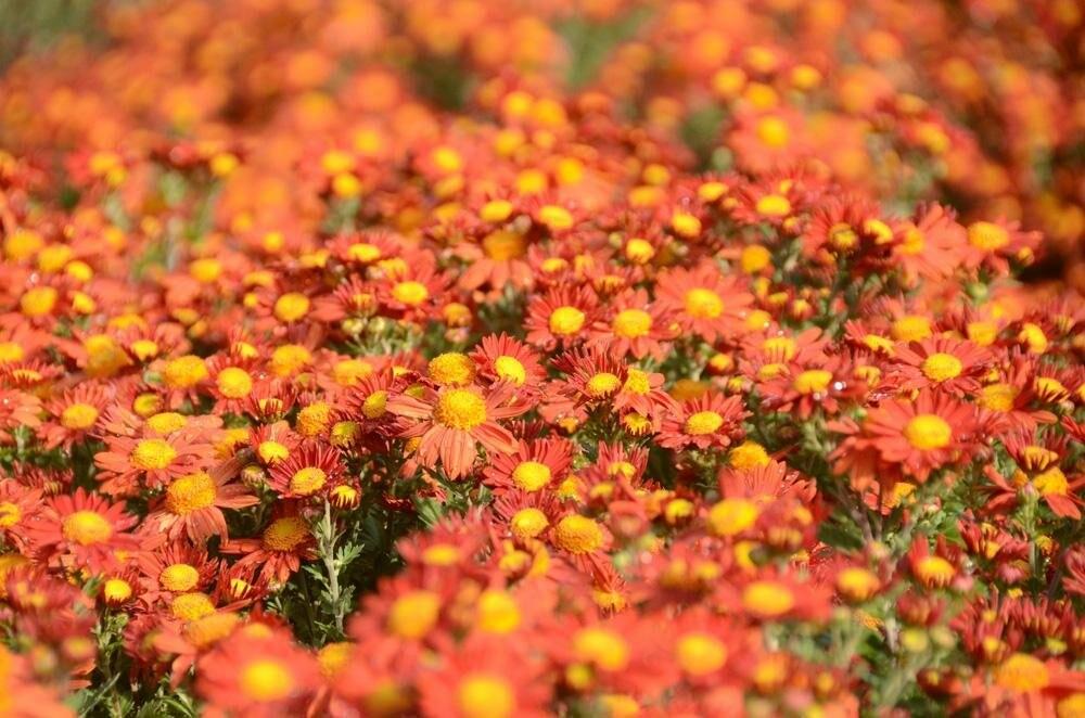 В Никитском саду будут представлены более 40 тысяч хризантем, фото-1