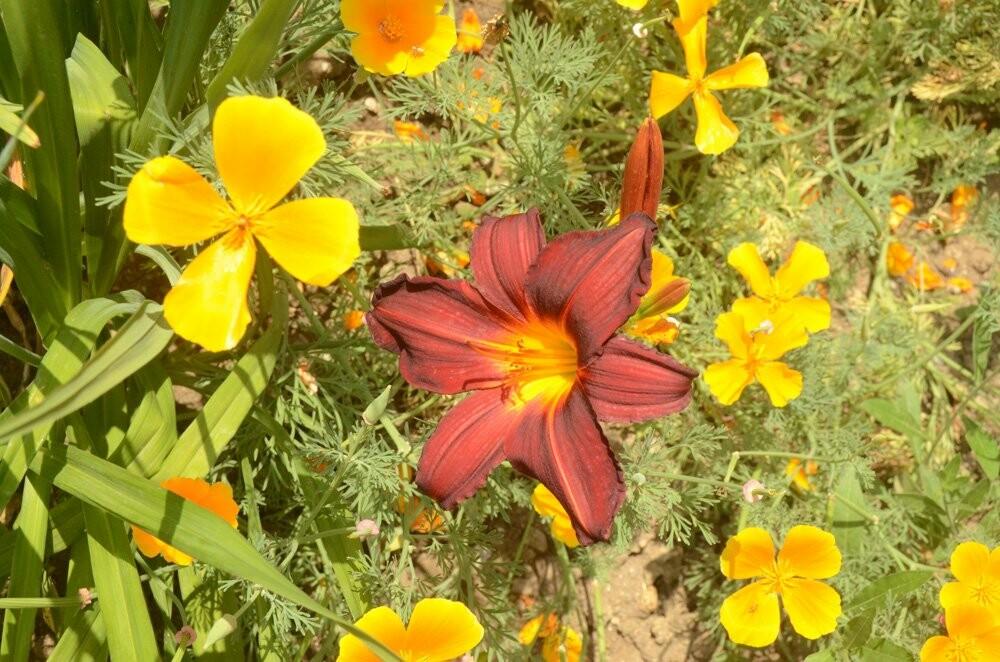 В Никитском ботаническом саду – пик цветения лилейников – цветков радости, фото-3