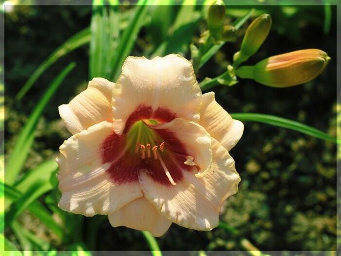 В Никитском ботаническом саду – пик цветения лилейников – цветков радости, фото-2