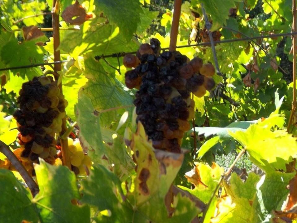 «Массандра» опровергает информацию о «гибели» урожая в Гурзуфе, фото-1