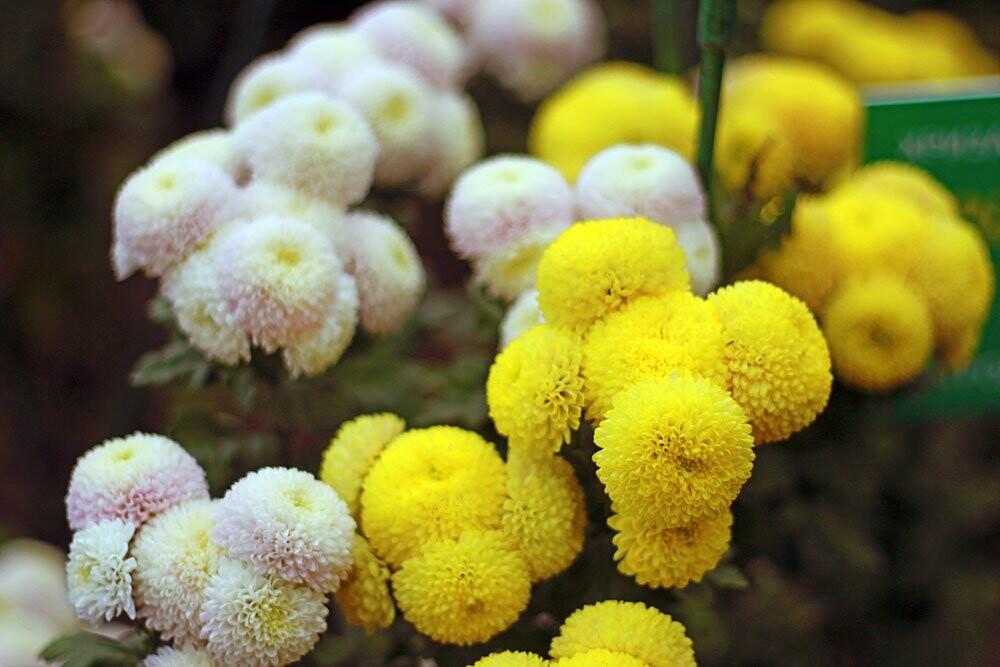 23 октября открывается Бал хризантем «Осенний блюз» в Никитском саду, фото-1