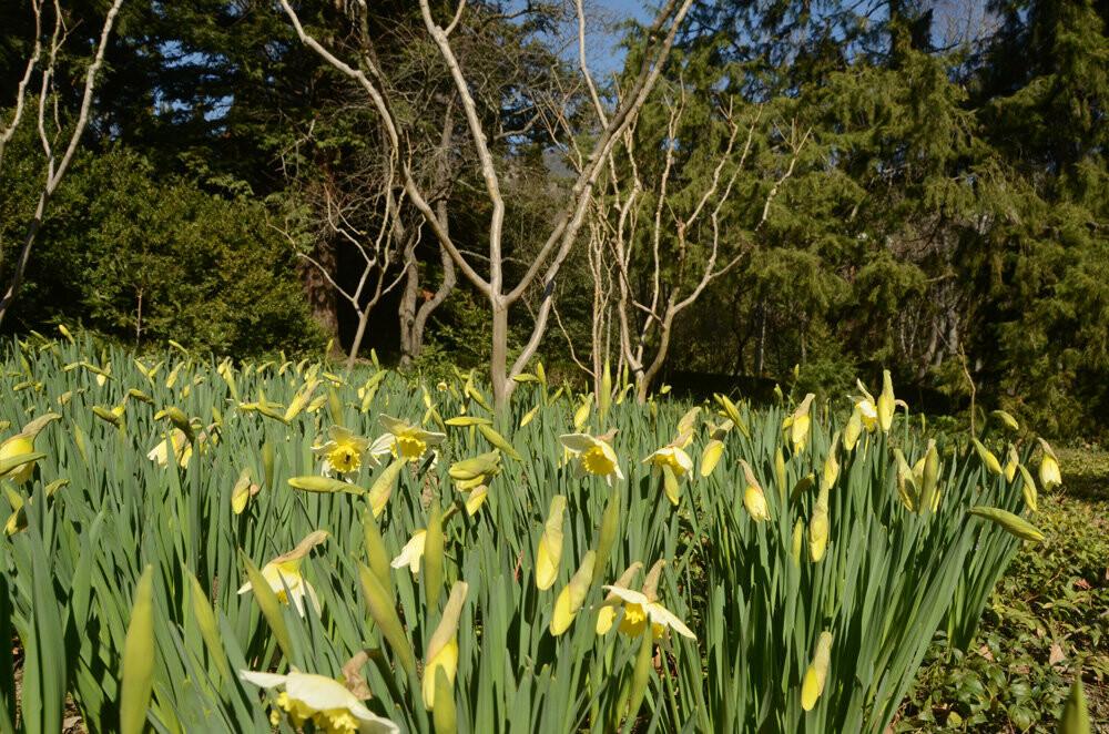 Фотофакт: Проклюнулись первые участники 12-го Парада тюльпанов в Никитском саду, фото-5