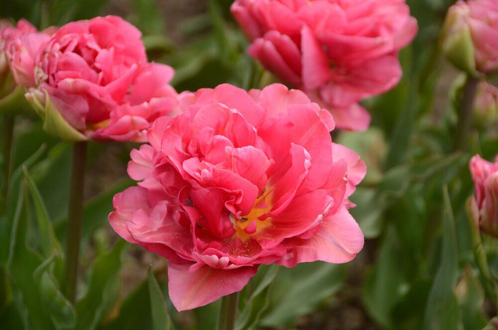"""На Параде тюльпанов в Никитском саду - """"Триумф новинок"""", фото-2"""