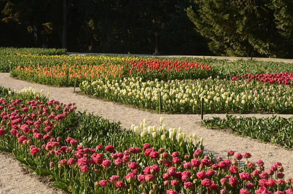 """На Параде тюльпанов в Никитском саду - """"Триумф новинок"""", фото-3"""