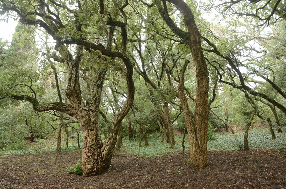 История Большой Ялты: роща пробкового дуба Никитского сада празднует 200 лет, фото-2