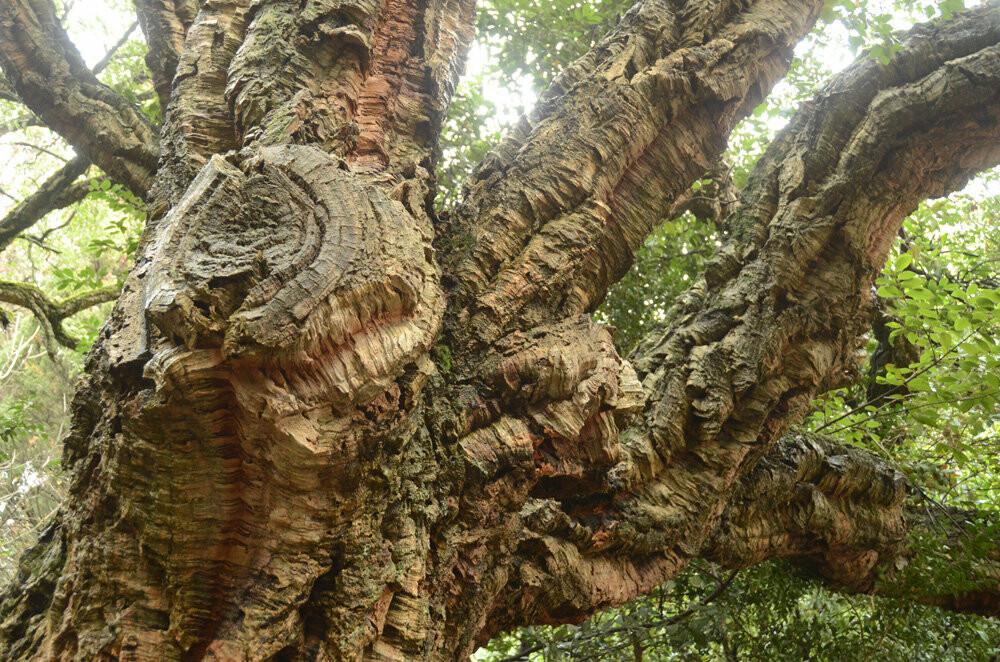 История Большой Ялты: роща пробкового дуба Никитского сада празднует 200 лет, фото-3