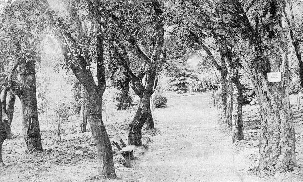 История Большой Ялты: роща пробкового дуба Никитского сада празднует 200 лет, фото-1