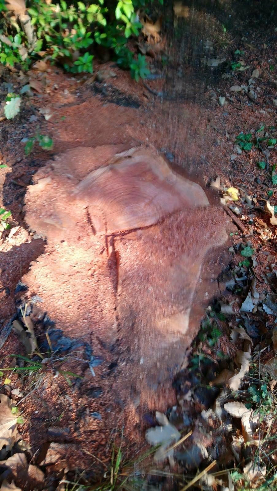 В рамках плановых работ в Алупкинском парке было удалено 26 деревьев, фото-1