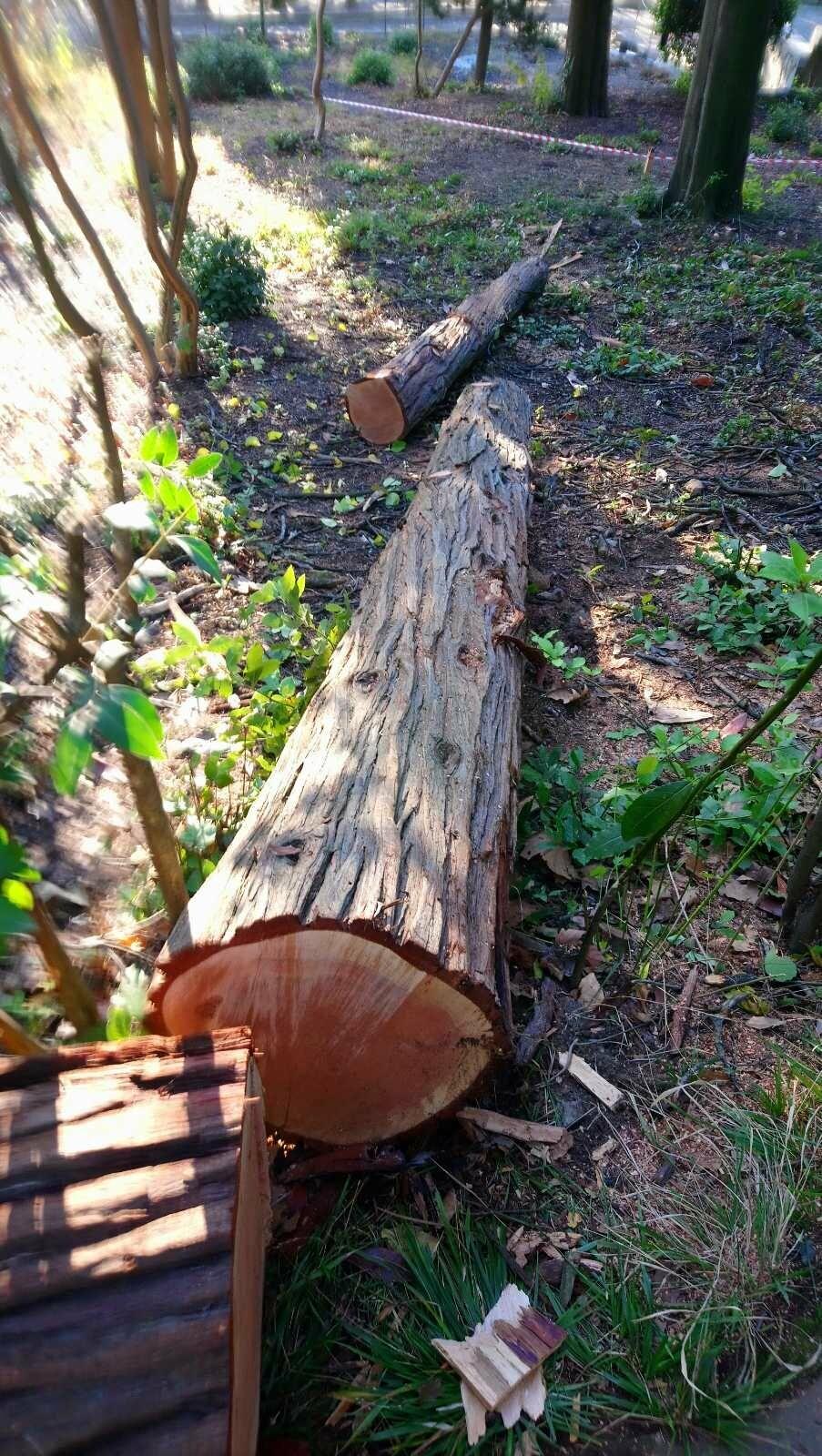 В рамках плановых работ в Алупкинском парке было удалено 26 деревьев, фото-3