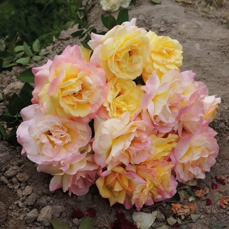 В Ливадийском дворце высадили 200 кустов самой знаменитой розы ХХ века, фото-1