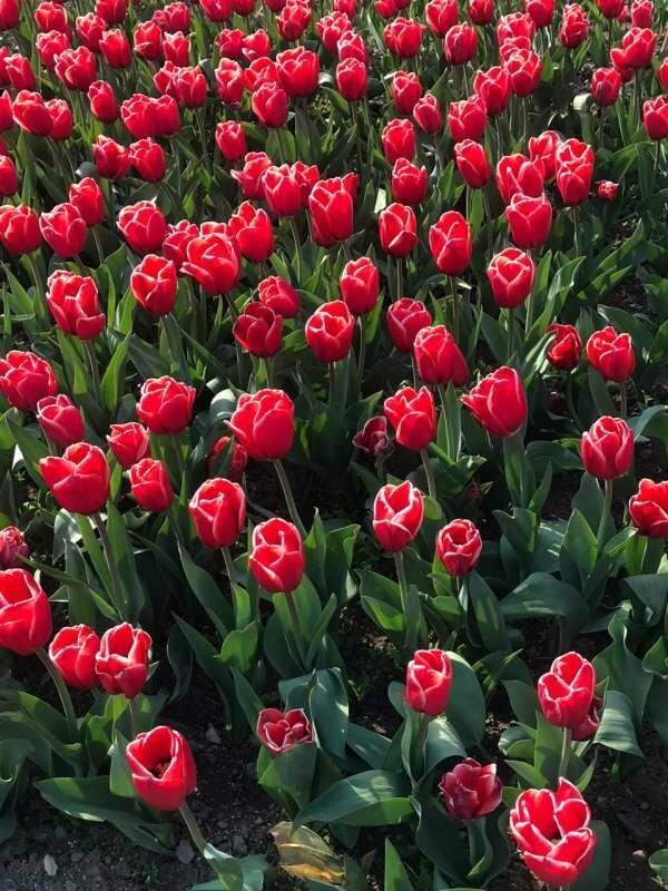 В Никитском ботаническом саду стартовал виртуальный Парад тюльпанов, фото-5