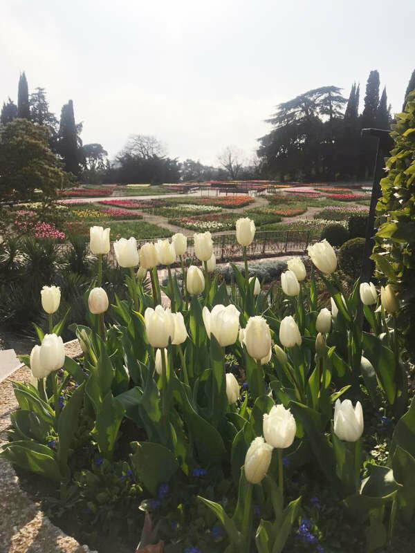 В Никитском ботаническом саду стартовал виртуальный Парад тюльпанов, фото-1