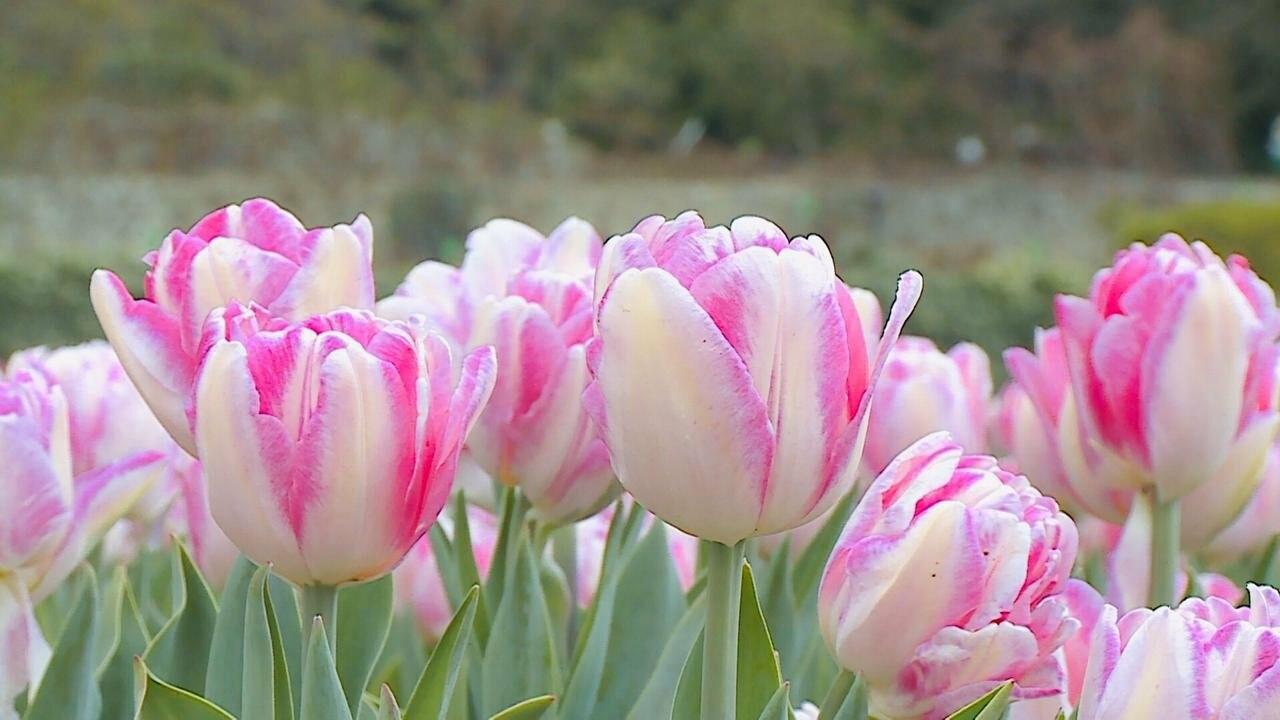 В Никитском ботаническом саду стартовал виртуальный Парад тюльпанов, фото-3