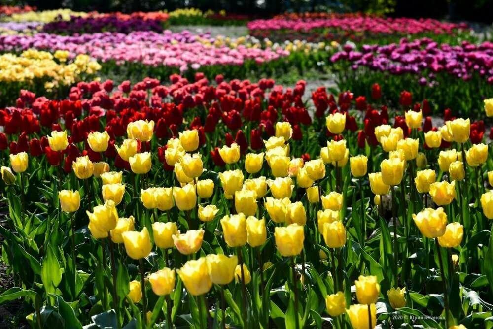 «Парад тюльпанов 2020» в Никитском саду подвел итоги, фото-4