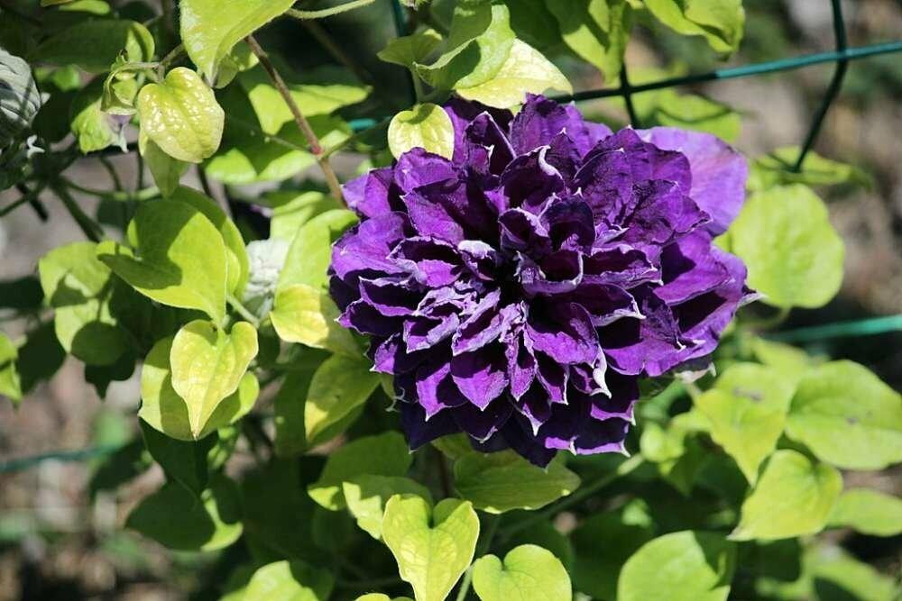 Никитский сад стал родиной отечественных шедевров клематиса, фото-4