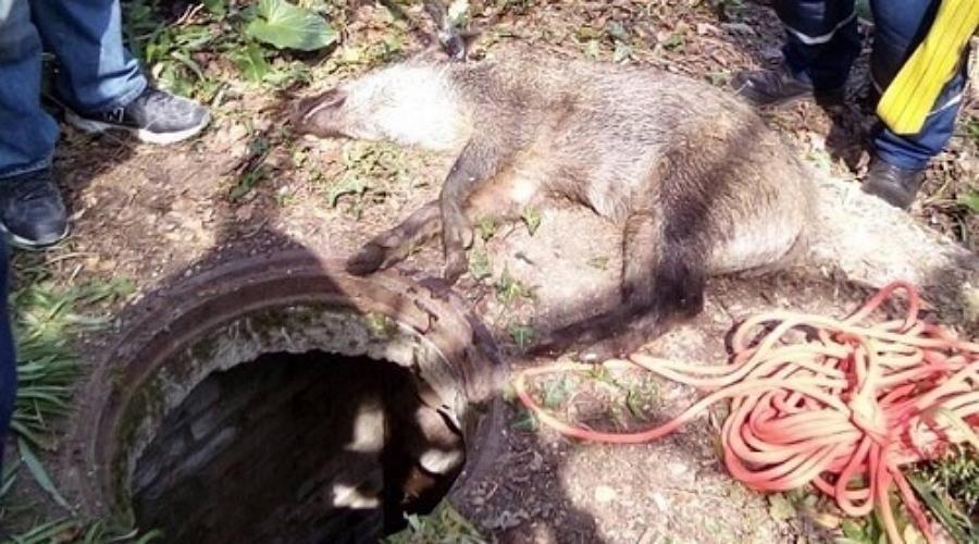 В лесу под Ялтой МЧС спасли из колодца дикого кабана
